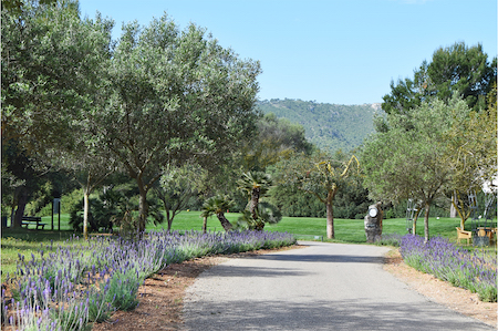 Lavender in bloom lines this path at Canyamel Golf